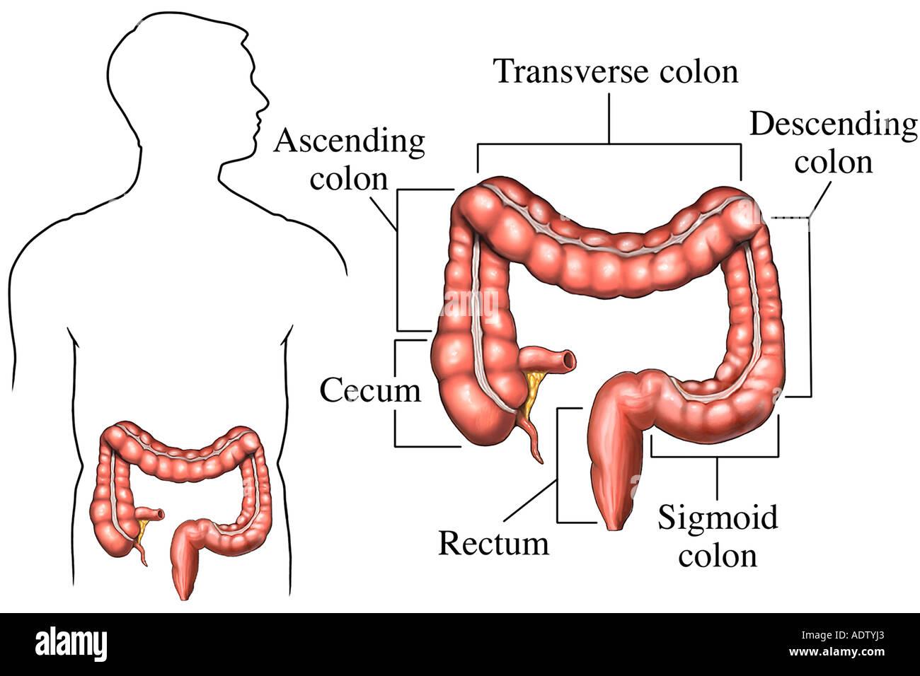 Normal Anatomy of the Large Intestine Stock Photo: 7710818 - Alamy