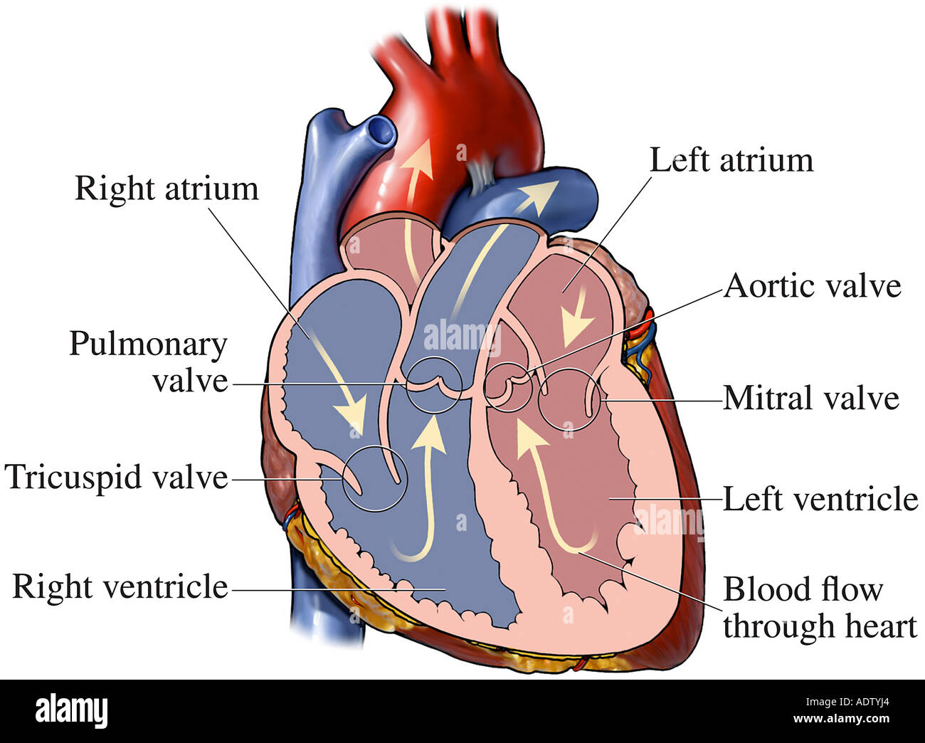 Normal Heart Anatomy Stock Photo 7710819 Alamy