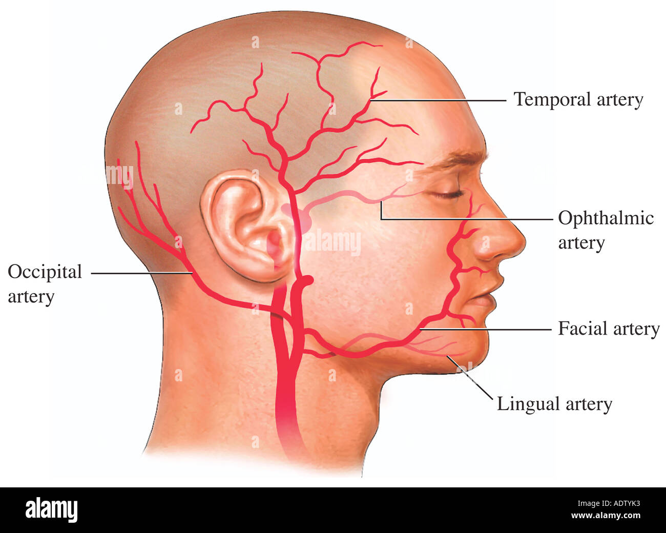 Lingual Artery Stock Photos Lingual Artery Stock Images Alamy