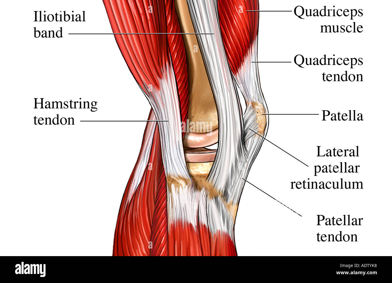 Medial Musculature Of The Knee Joint Stock Photo 7710839 Alamy