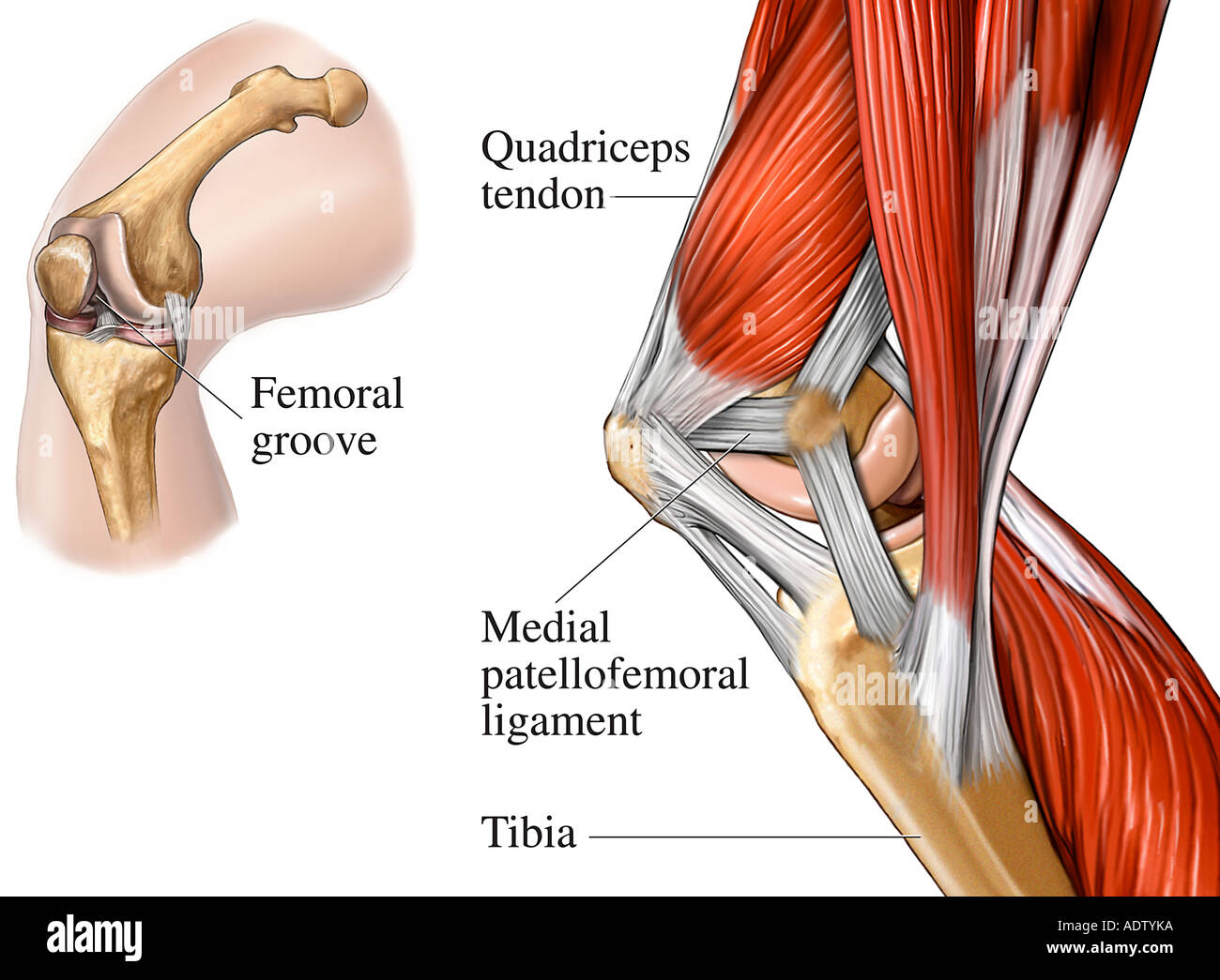 Muscles of the Knee Joint Medial View Stock Photo: 7710841 - Alamy