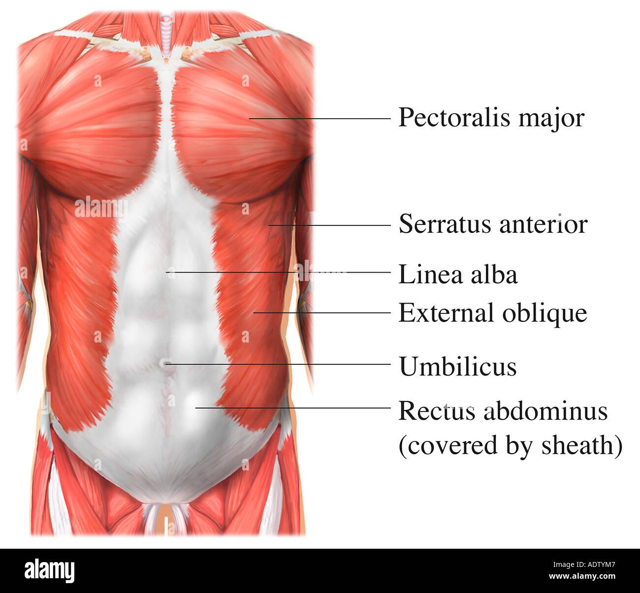 Anterior Torso Muscles - Stock Image