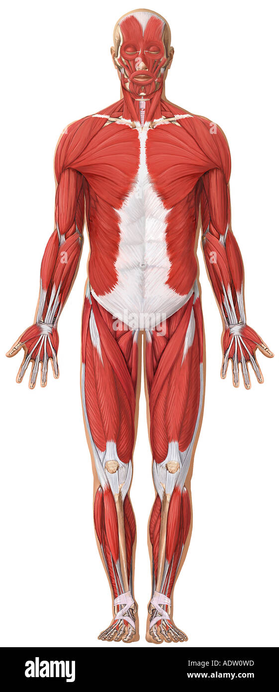 Anatomy Of The Muscular System Anterior View Stock Photo 7711132