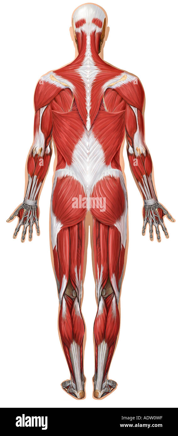 Anatomy of the Muscular System: Posterior View Stock Photo: 7711134 ...