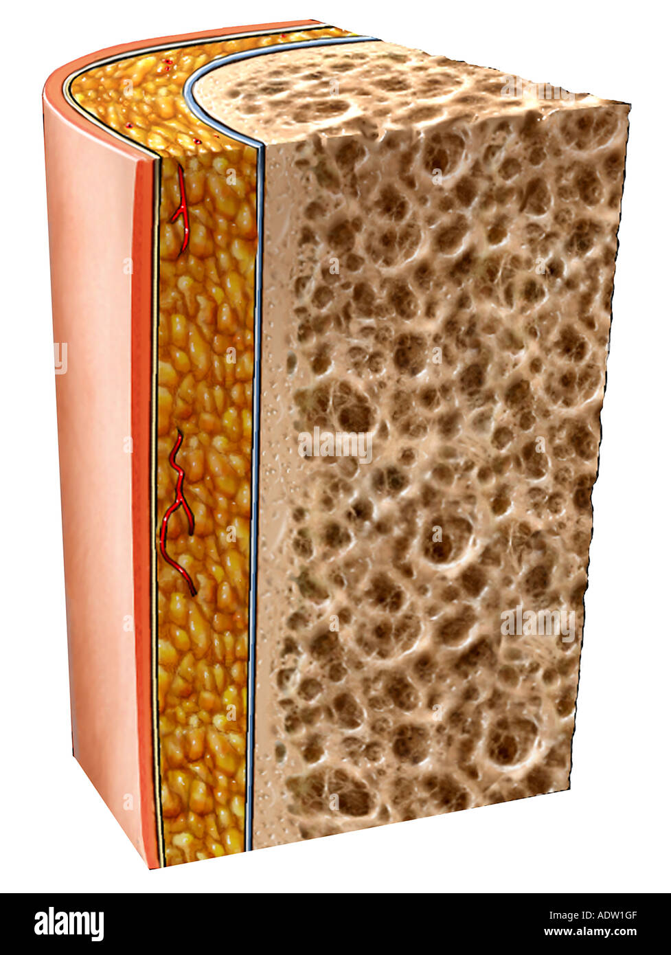 Bone Section with Skin - Stock Image