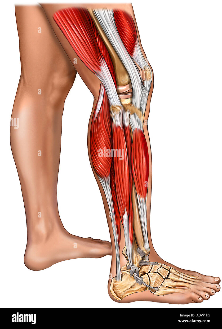 Muscles Of The Leg Knee And Foot With Skin Lateral View Stock