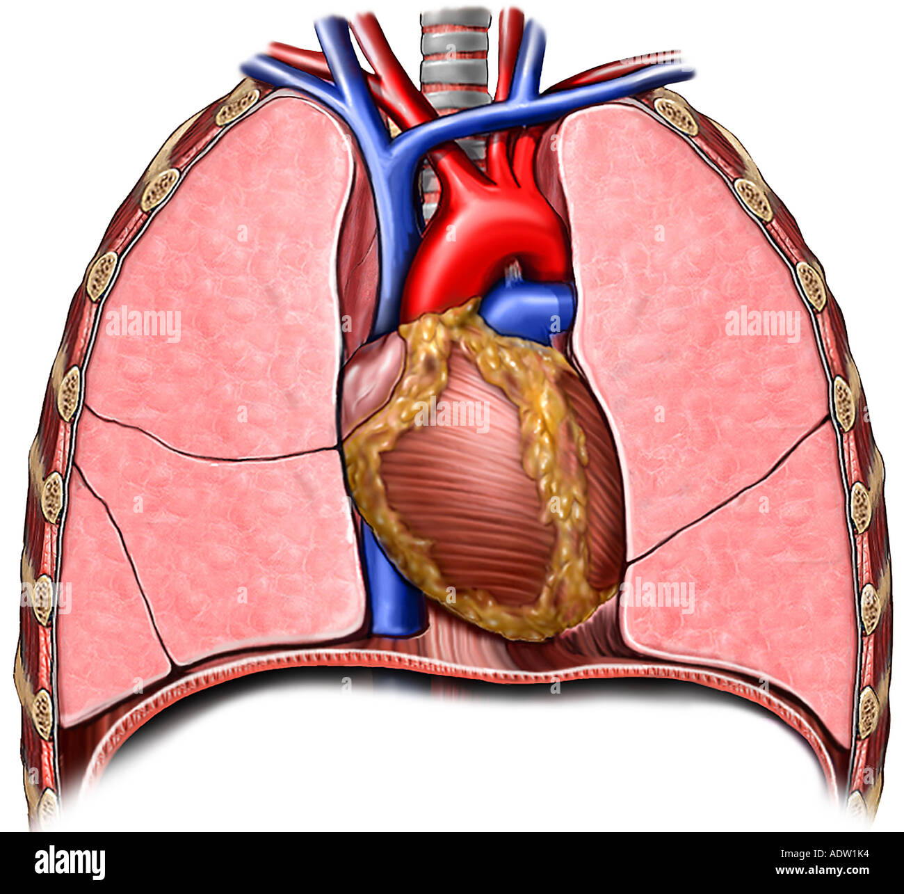 Organs Of The Thorax Stock Photos Organs Of The Thorax Stock