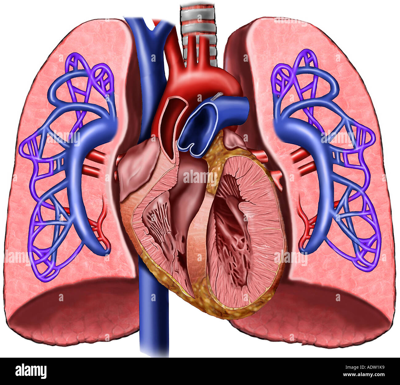 Heart and Lungs with Pulmonary Artery Circulation Stock Photo ...