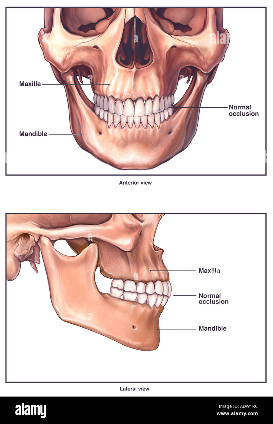 Anatomy Of The Jaw Mandible Stock Photo 7711291 Alamy