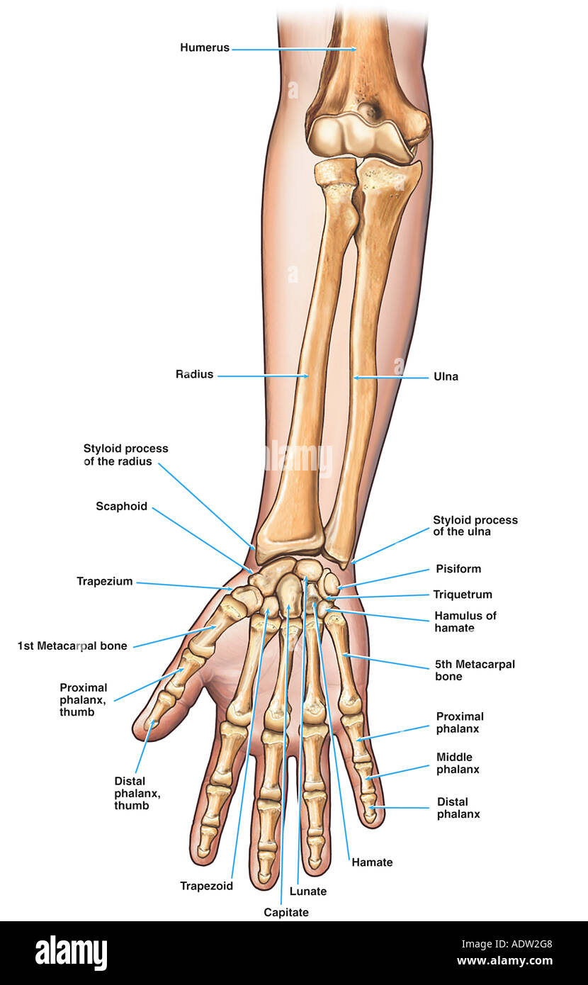Anatomy Of The Forearm Arm And Hand Bones Stock Photo 7711367 Alamy