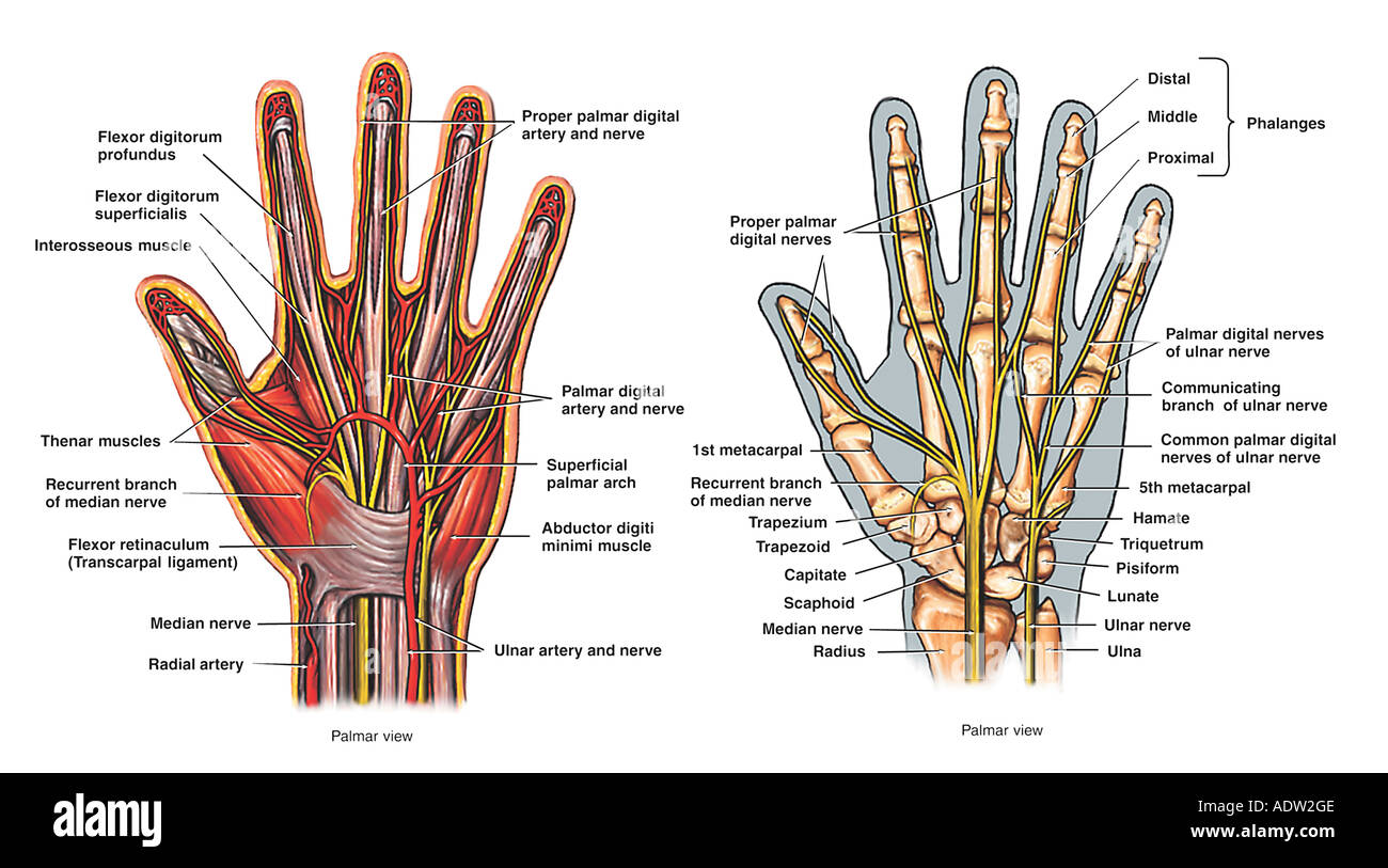 Radial Nerve Hand Stock Photos Radial Nerve Hand Stock Images Alamy