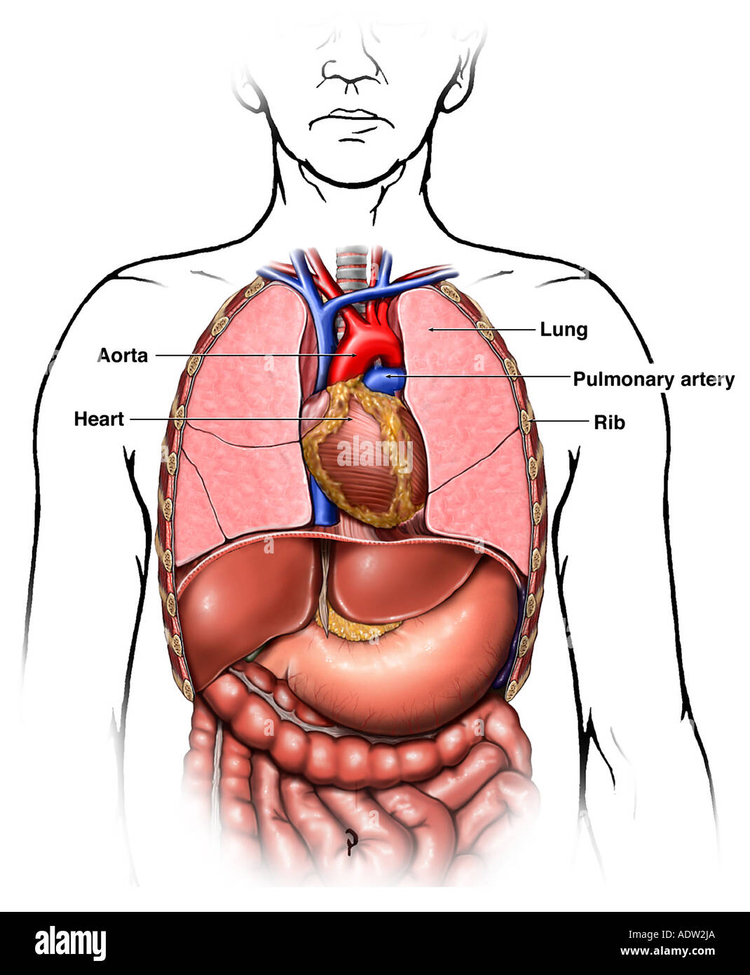 Anatomy of the Thoracic (Chest) Organs Stock Photo: 7711401 - Alamy