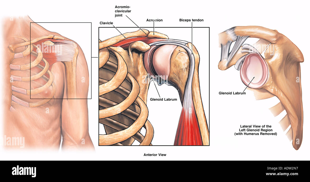 Anatomy of the Left Shoulder Stock Photo: 7711446 - Alamy