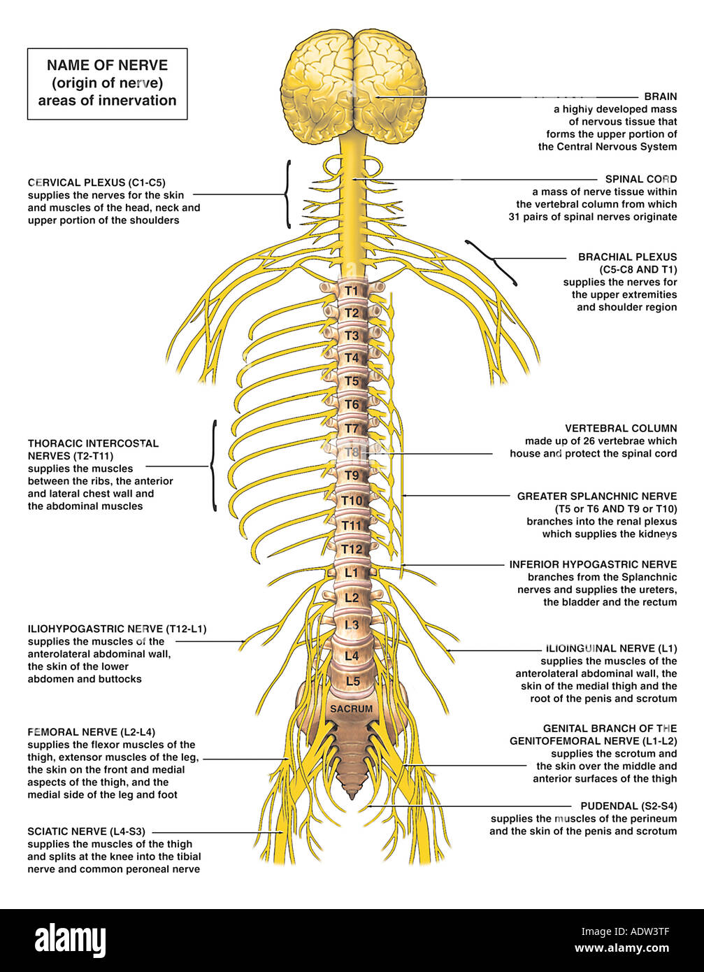 Anatomy of the Nervous System Stock Photo: 7711694 - Alamy