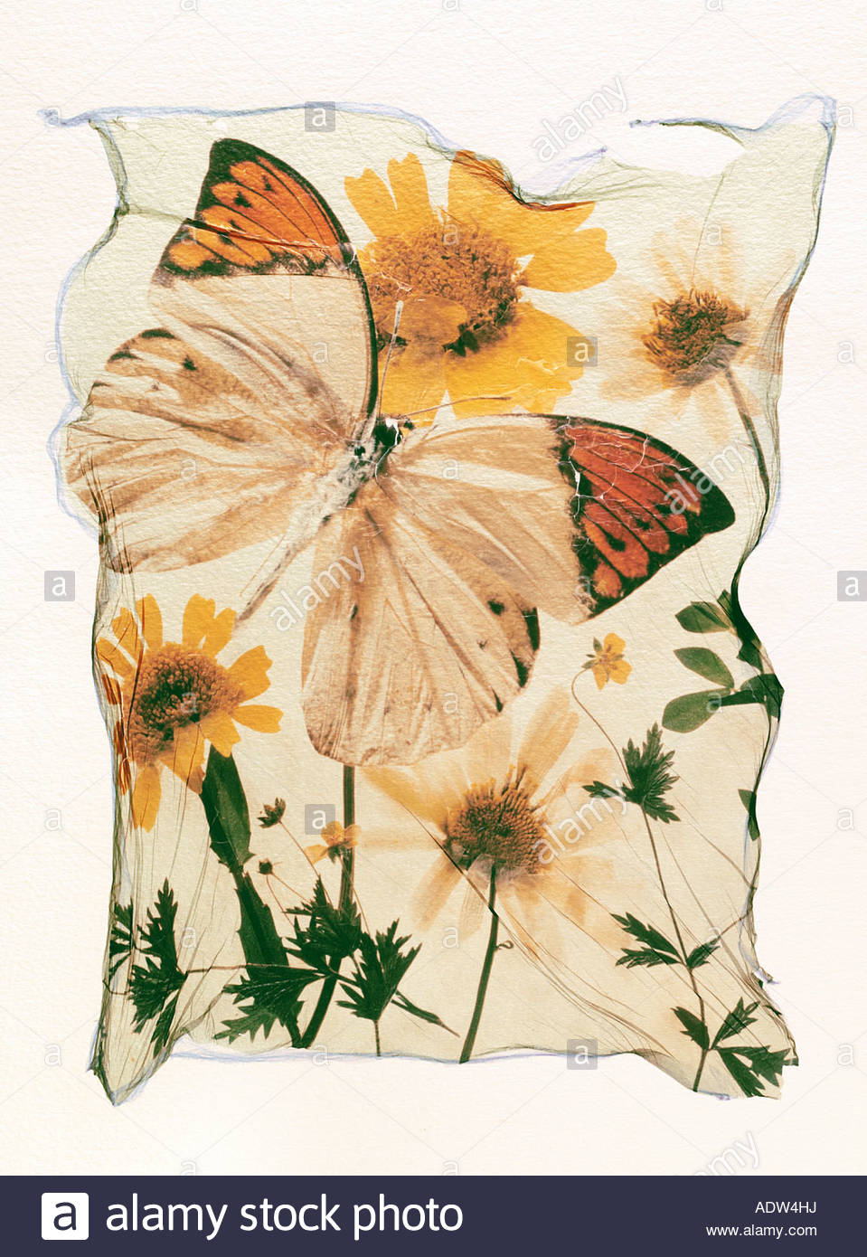 Polaroid lift of an orange tipped butterfly on a flower, opened winged. A concept art photo - Stock Image