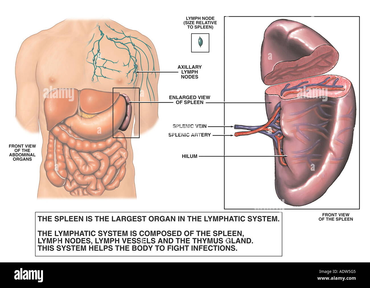 Anatomy of the Spleen Stock Photo: 7711940 - Alamy