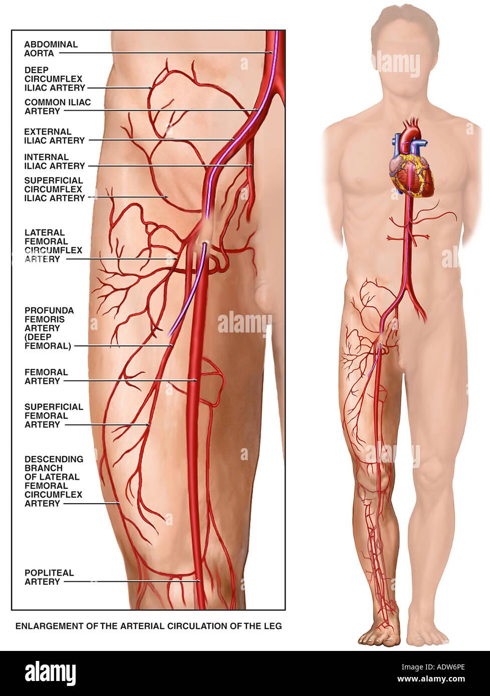 Cardiac Circulatory Catheter Stock Photos & Cardiac Circulatory ...