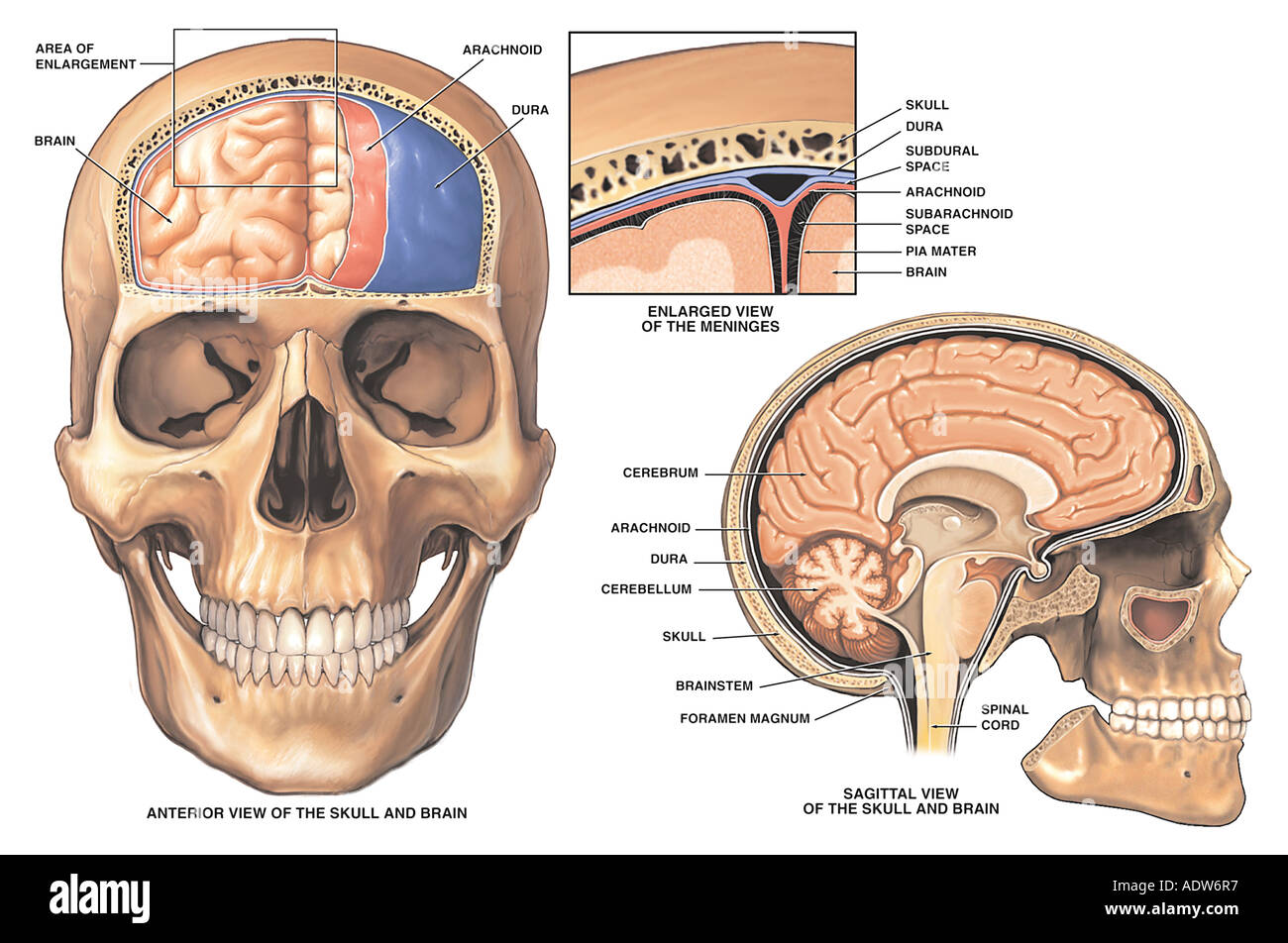 Anatomy Of The Brain And Meninges Stock Photo 7712246 Alamy