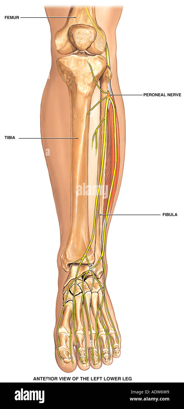 Normal Anatomy of the Left Lower Leg Bones Stock Photo: 7712280 - Alamy