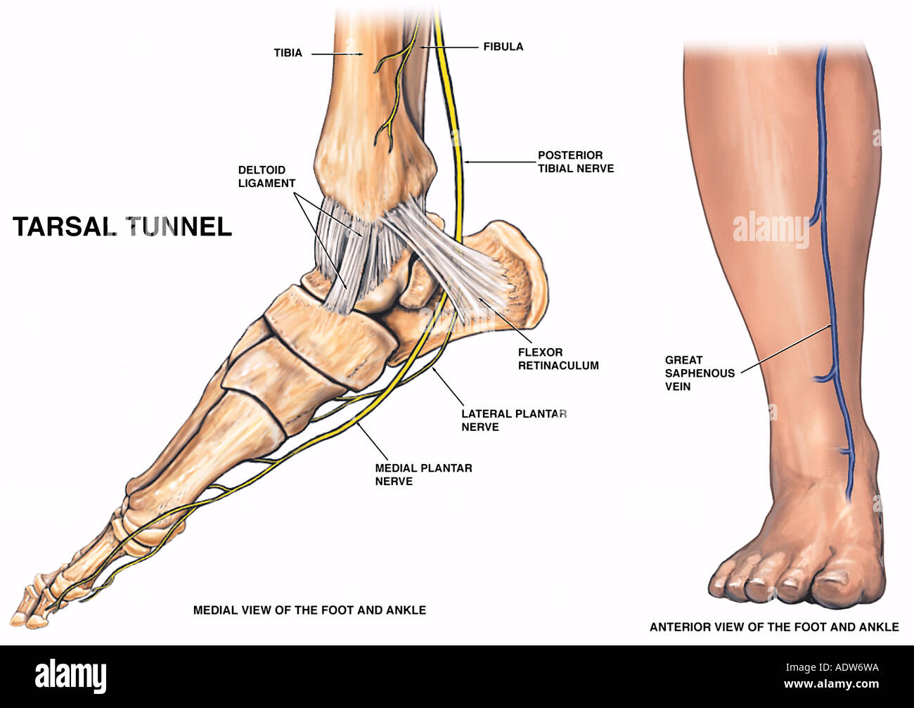 Anatomy of the Lower Leg and Foot Stock Photo: 7712281 - Alamy