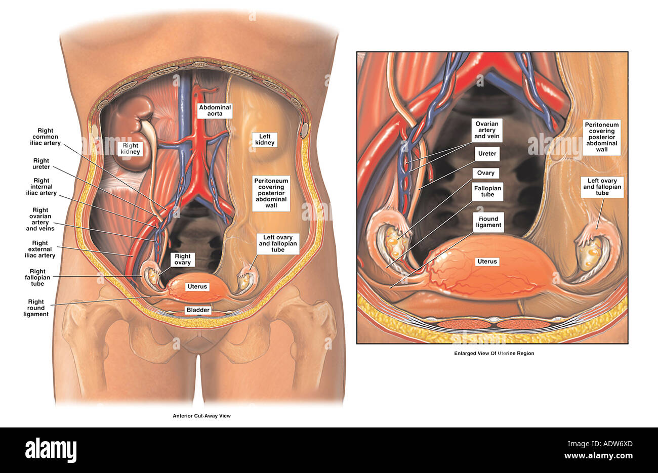 Anatomy of the Female Pelvis Stock Photo: 7712300 - Alamy