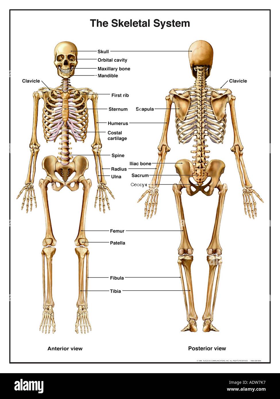 Anatomy of the Skeletal System Stock Photo: 7712374 - Alamy