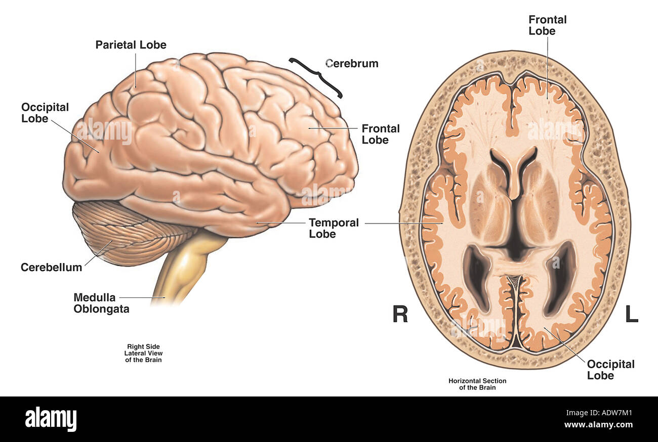 Anatomy Of The Brain Stock Photo 7712384 Alamy