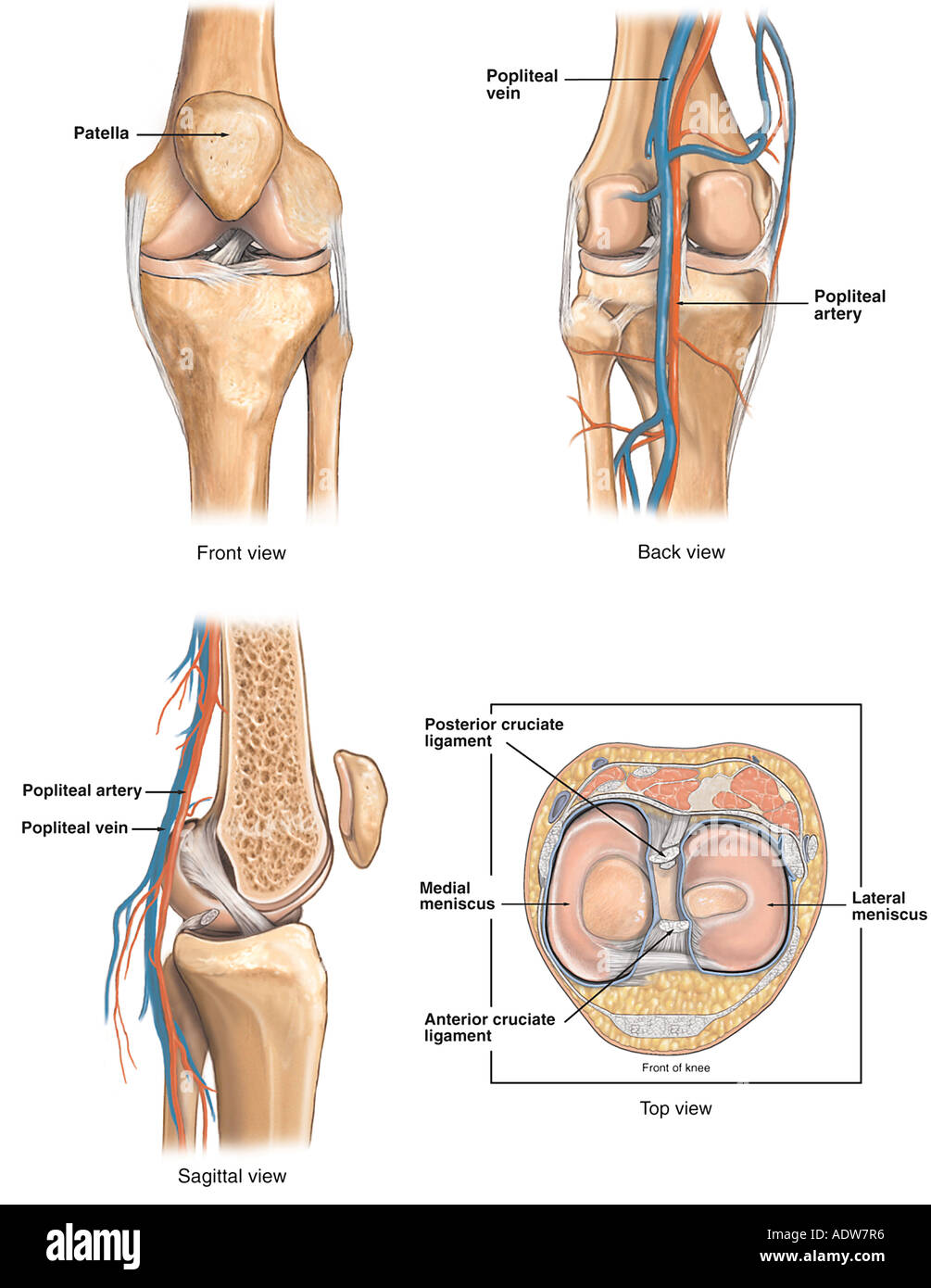 Anatomy of the Knee Joint Stock Photo: 7712437 - Alamy