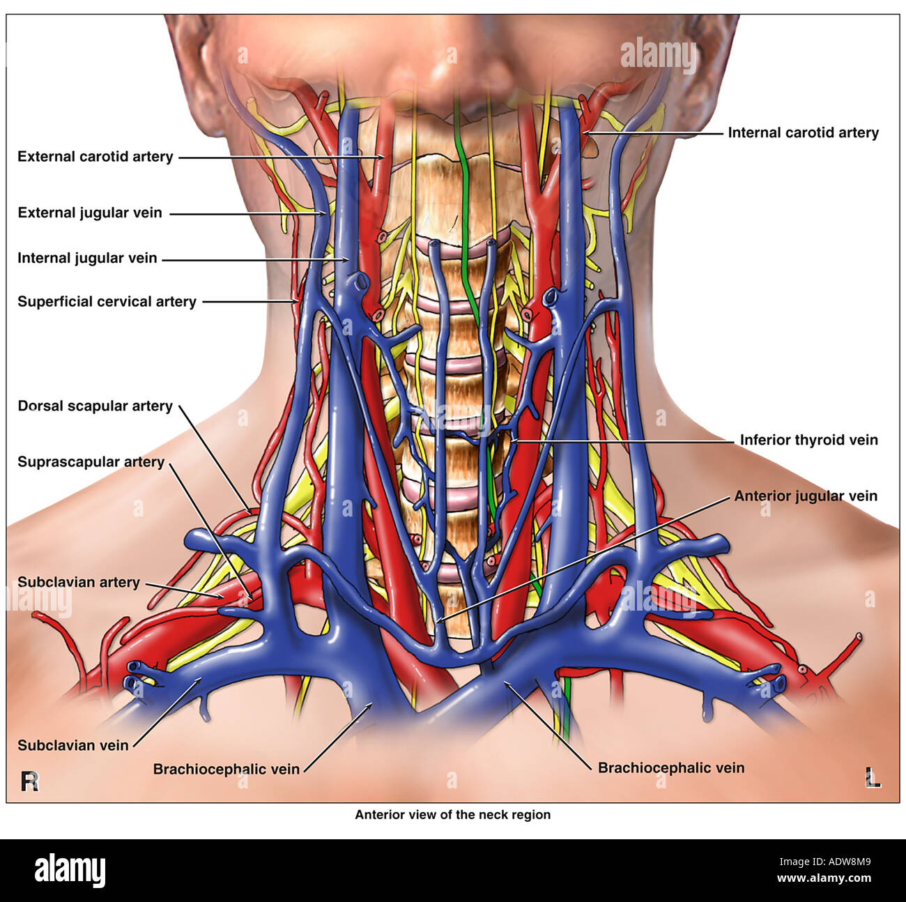 Anatomy of the Arteries Veins and Nerves of the Cervical Neck Spine ...