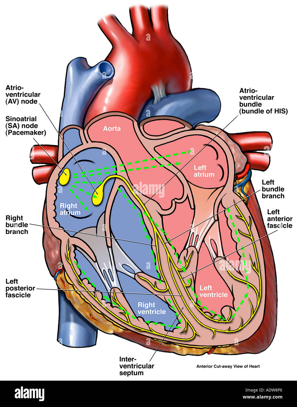 Cardiac Conduction System Of The Heart Stock Photo 7712613 Alamy