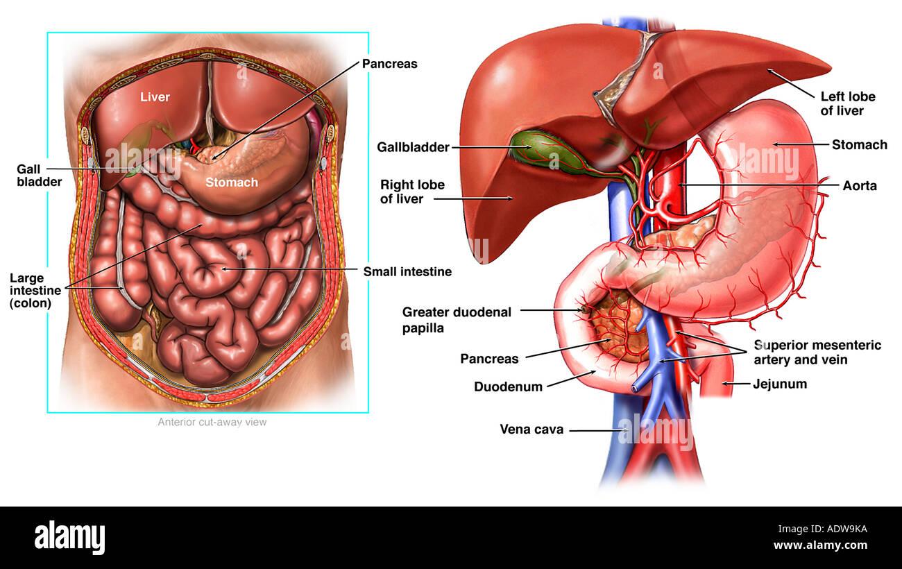Hepatic Artery Liver Stock Photos Hepatic Artery Liver Stock