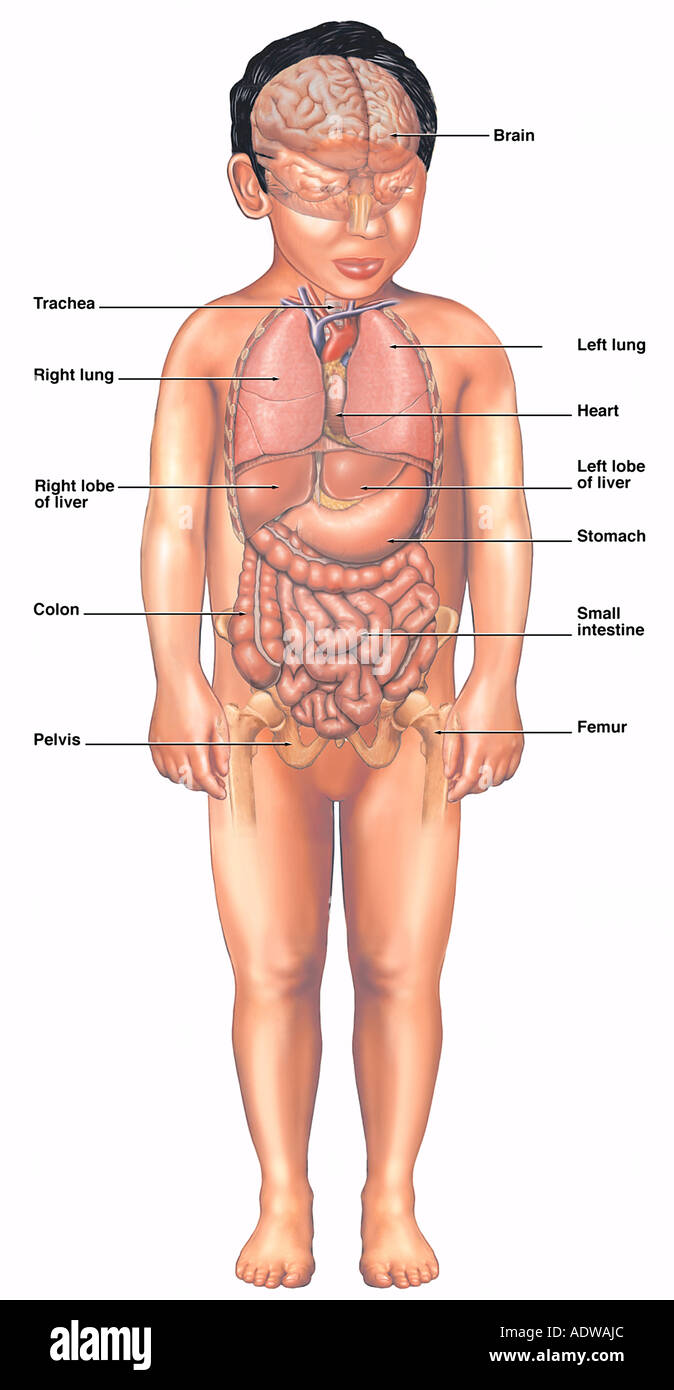 Normal Anatomy of a Four Year Old Child Stock Photo: 7712939 - Alamy
