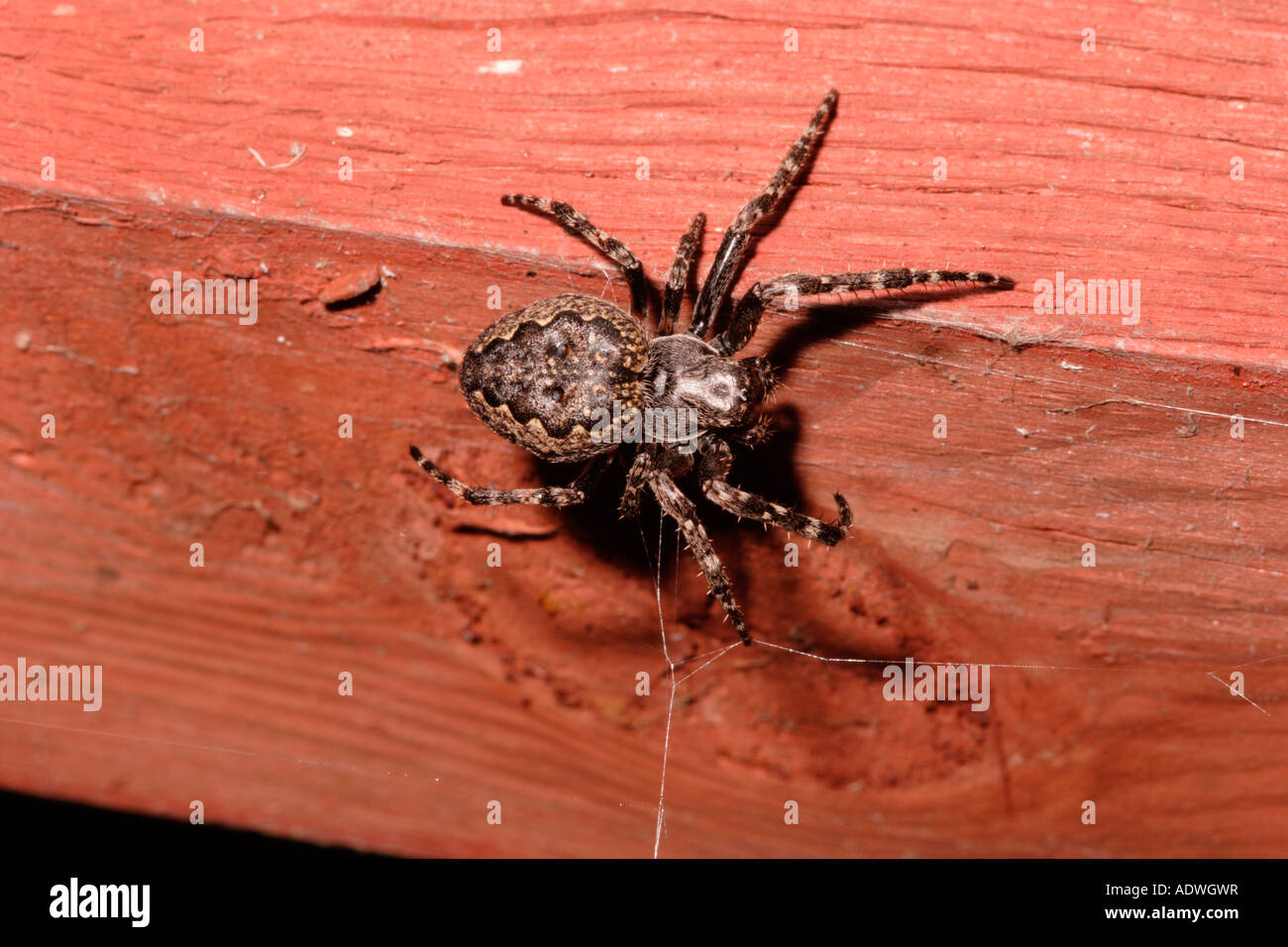 Walnut orb weaver spider Nuctenea umbratica Araneidae in touch with her web in a greenhouse at night UK - Stock Image