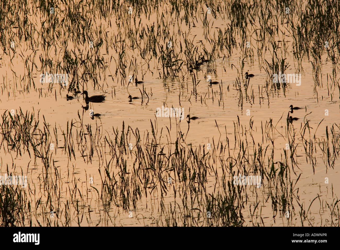 Duck with her ducklings in flooded meadow Oxfordshire England United Kingdom - Stock Image