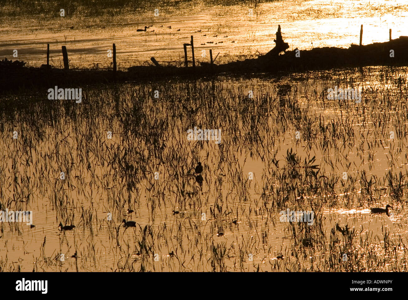 Ducks and ducklings in flooded meadow Oxfordshire England United Kingdom - Stock Image
