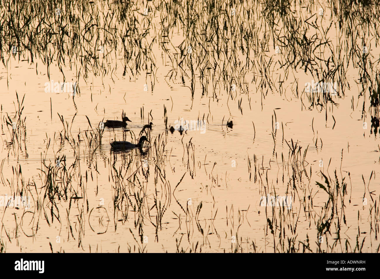 Ducks and their ducklings in flooded meadow Oxfordshire England United Kingdom - Stock Image