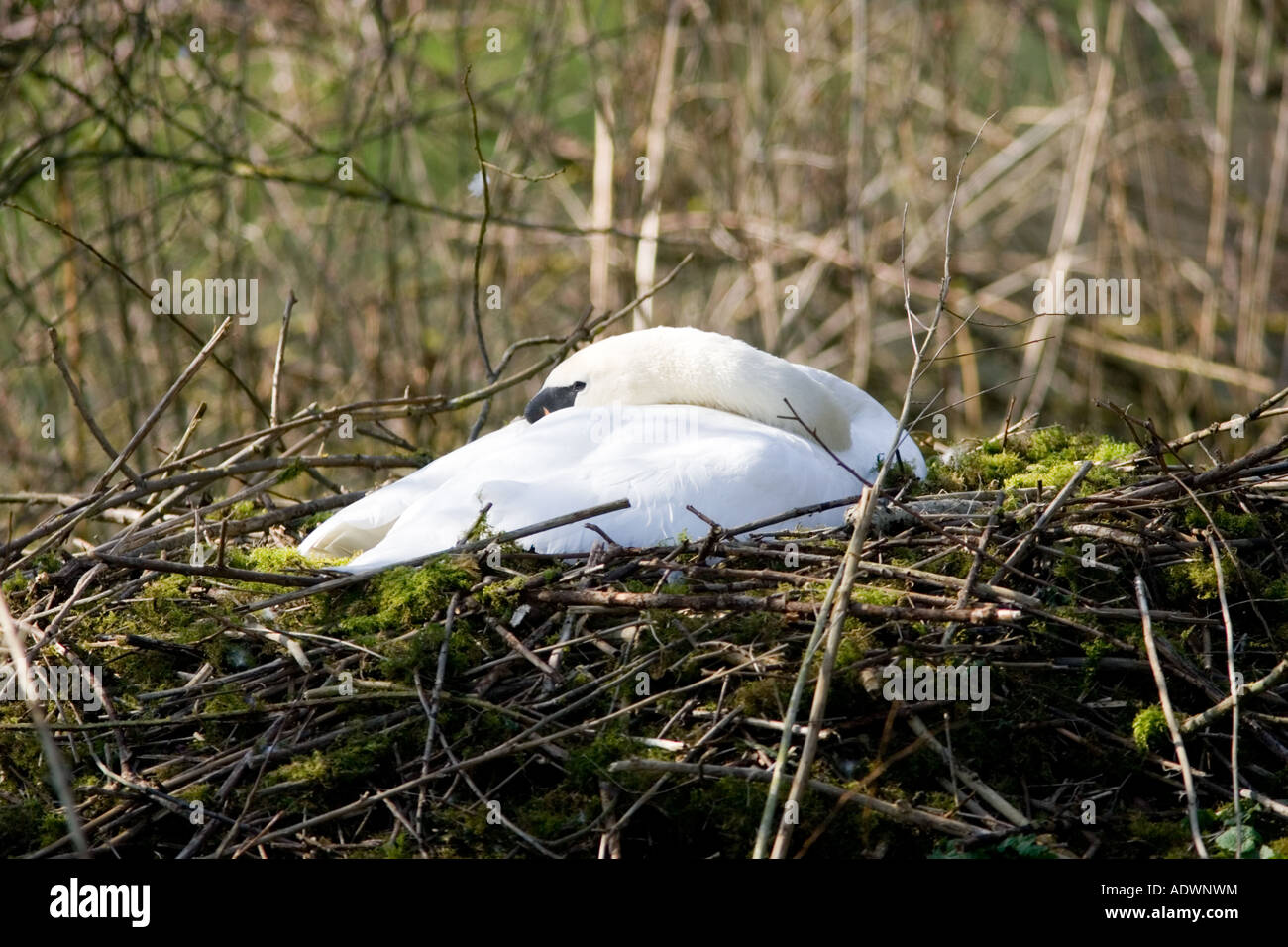 Female mute swan asleep on nest of moss and twigs Donnington Gloucestershire The Cotswolds England United Kingdom - Stock Image