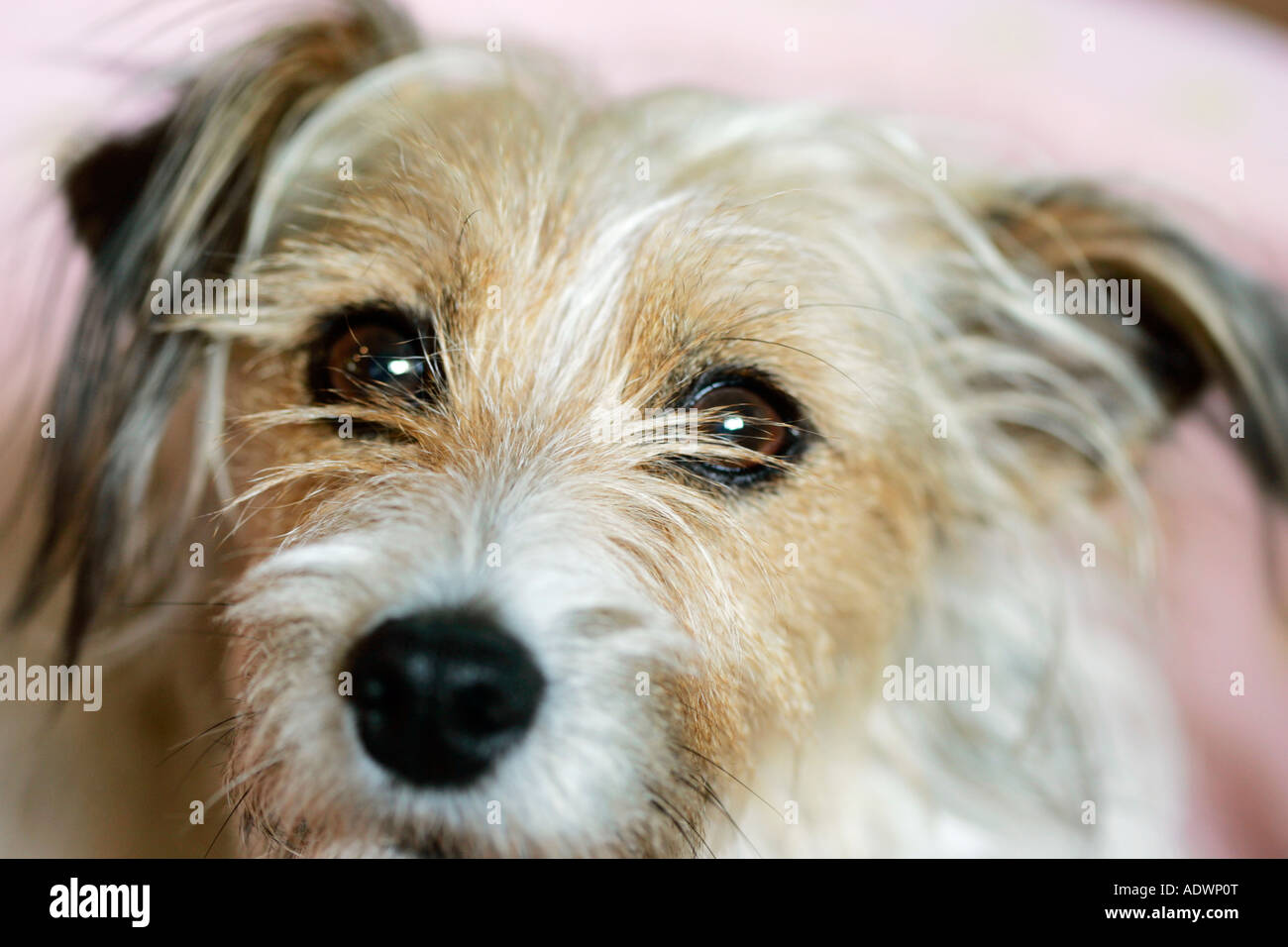 Long Haired Jack Russell Terrier Oxfordshire United