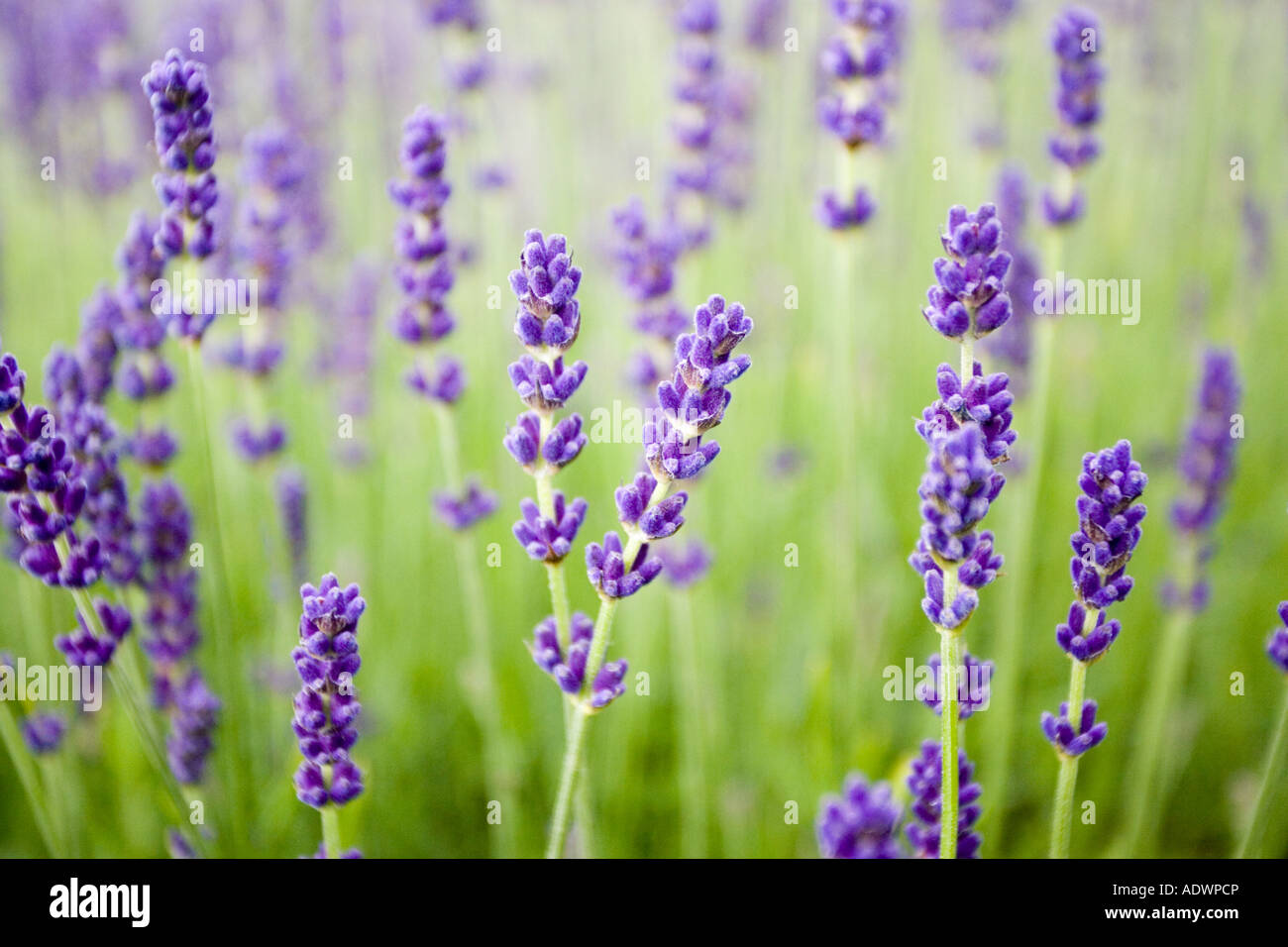Imperial Gem lavender Snowshill Worcestershire United Kingdom The Cotswolds - Stock Image