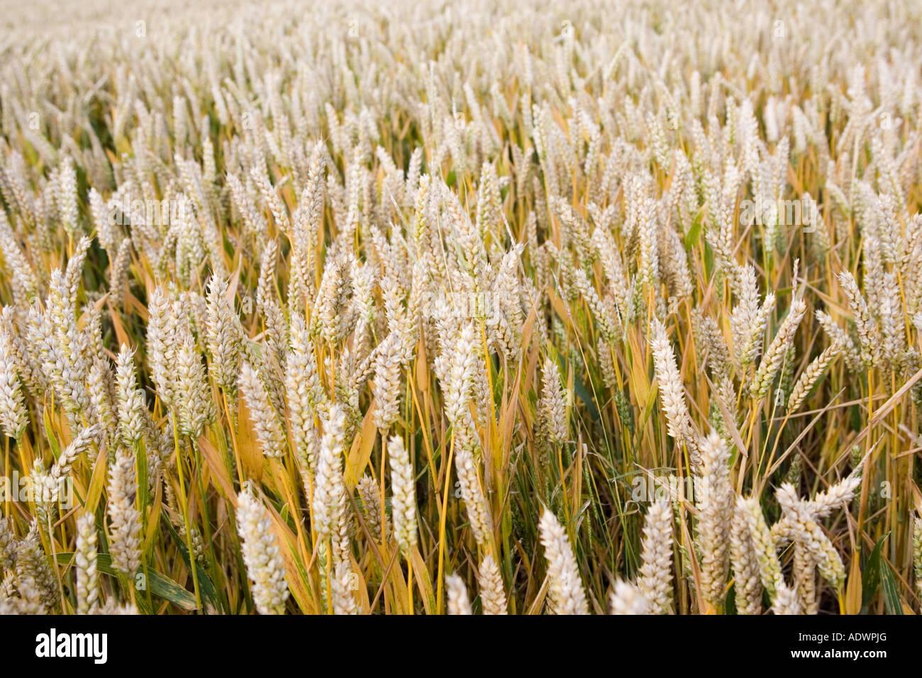 Wheat field in Marlborough Downs Wiltshire England United Kingdom - Stock Image