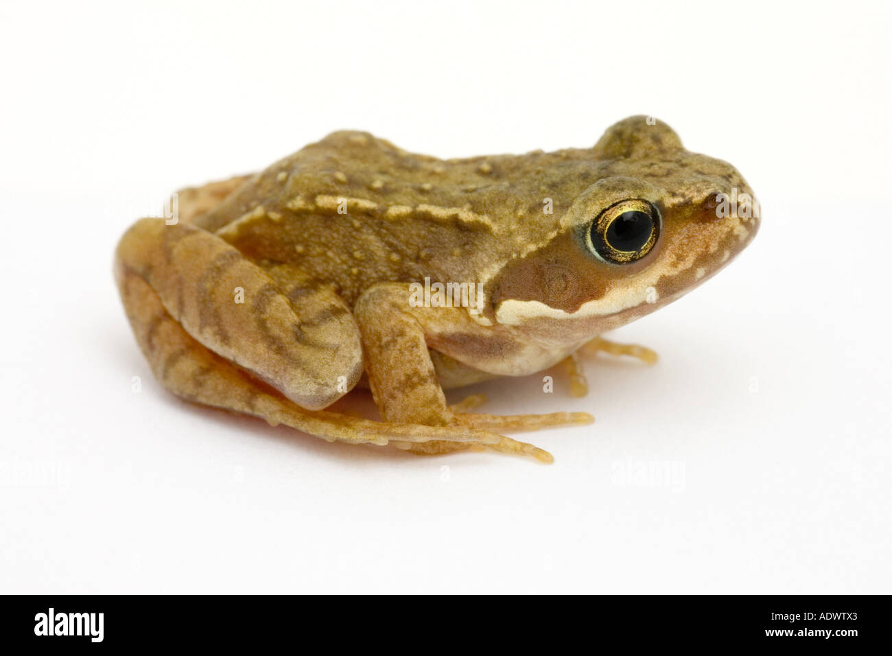 Baby Frog Cut Out Stock Images & Pictures - Alamy