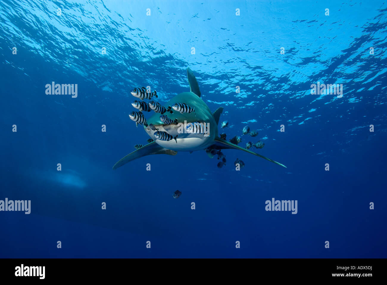 oceanic whitetip shark accompanied by pilot fishes Carcharhinus longimanus Red Sea Egypt - Stock Image