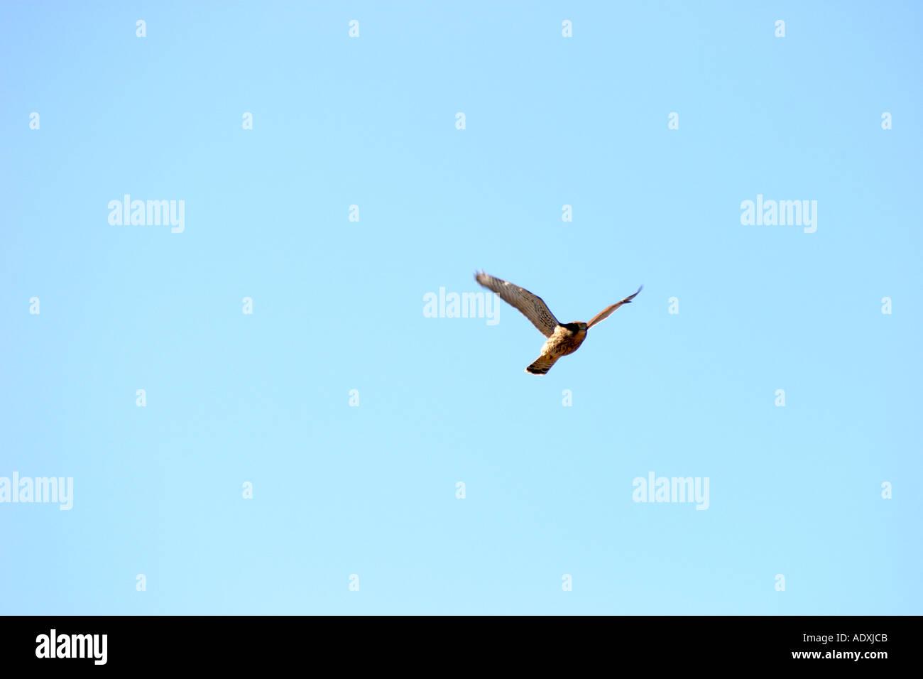 flying kestrel Turmfalke im Flug Stock Photo