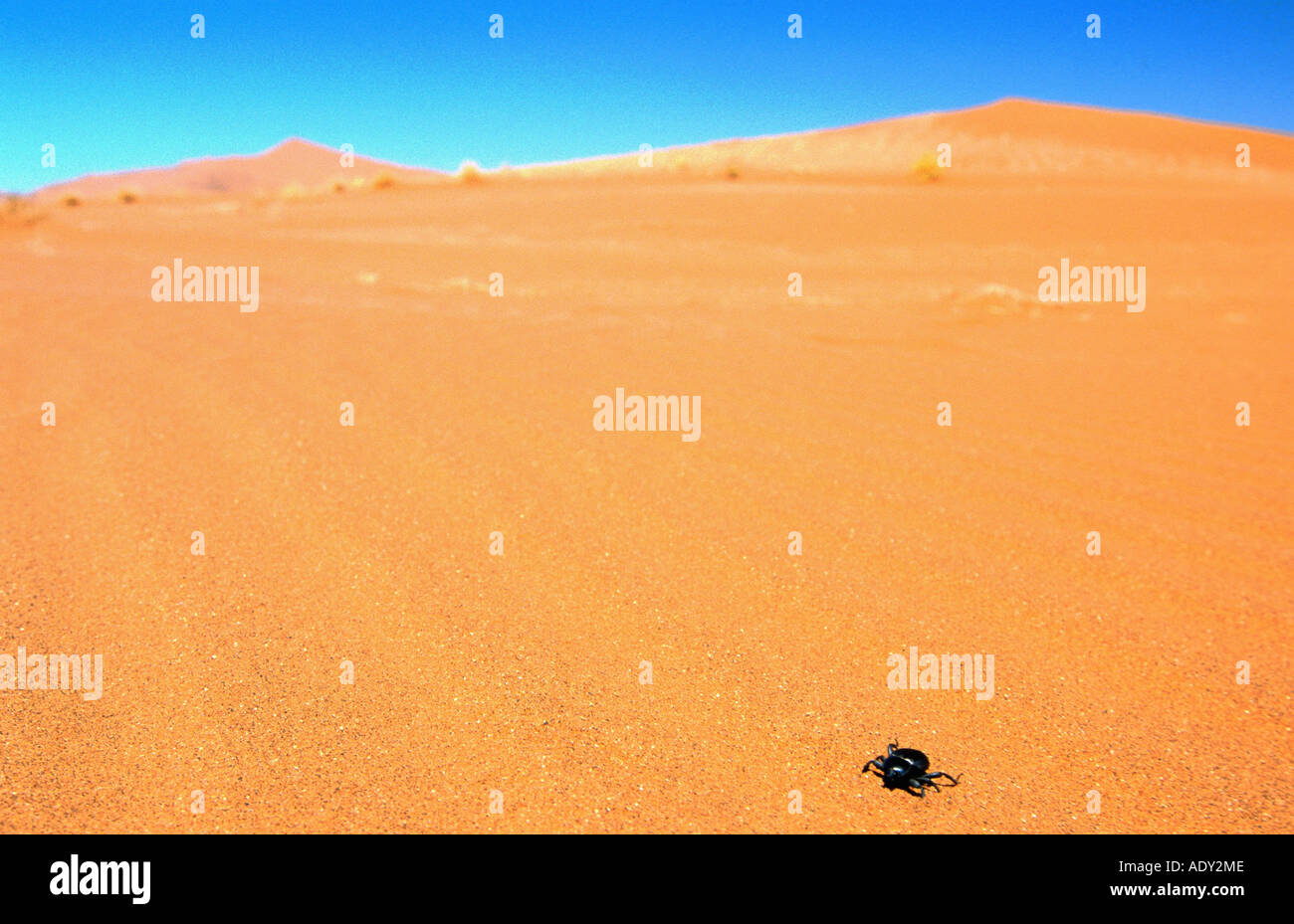 tok-tokky (Onymacris unguicularis), with sand dunes, example for spieces with adaption to extreme dry habitats, Namibia - Stock Image