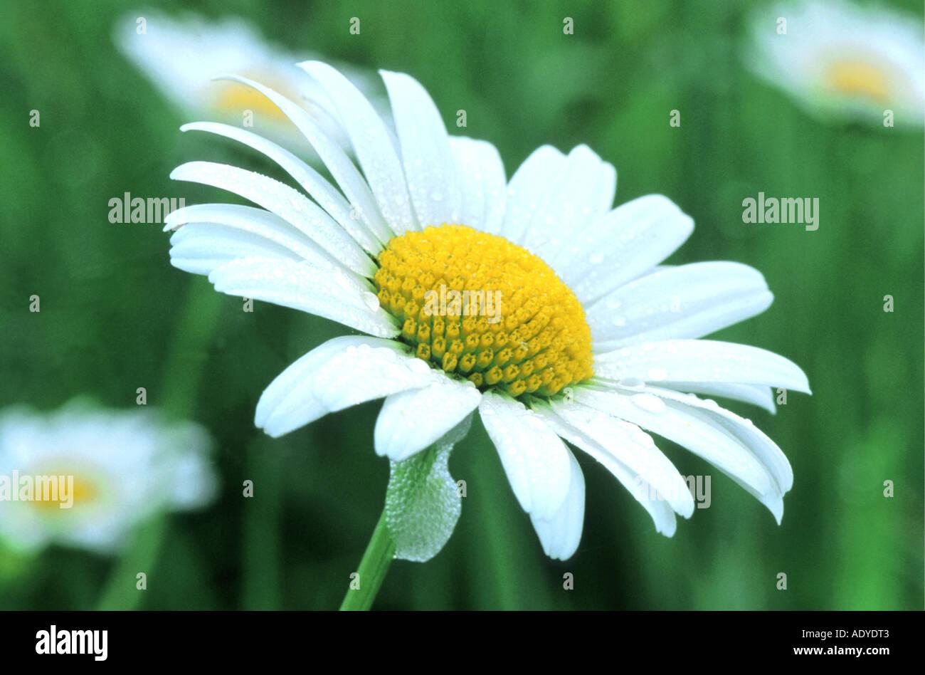 Oxeye daisy chrysanthemum leucanthemum leucanthemum vulgare stock oxeye daisy chrysanthemum leucanthemum leucanthemum vulgare flower covered in dewdrops switzerland greifensee izmirmasajfo