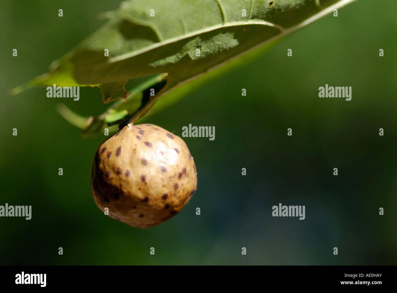 Oak apple gall - Stock Image
