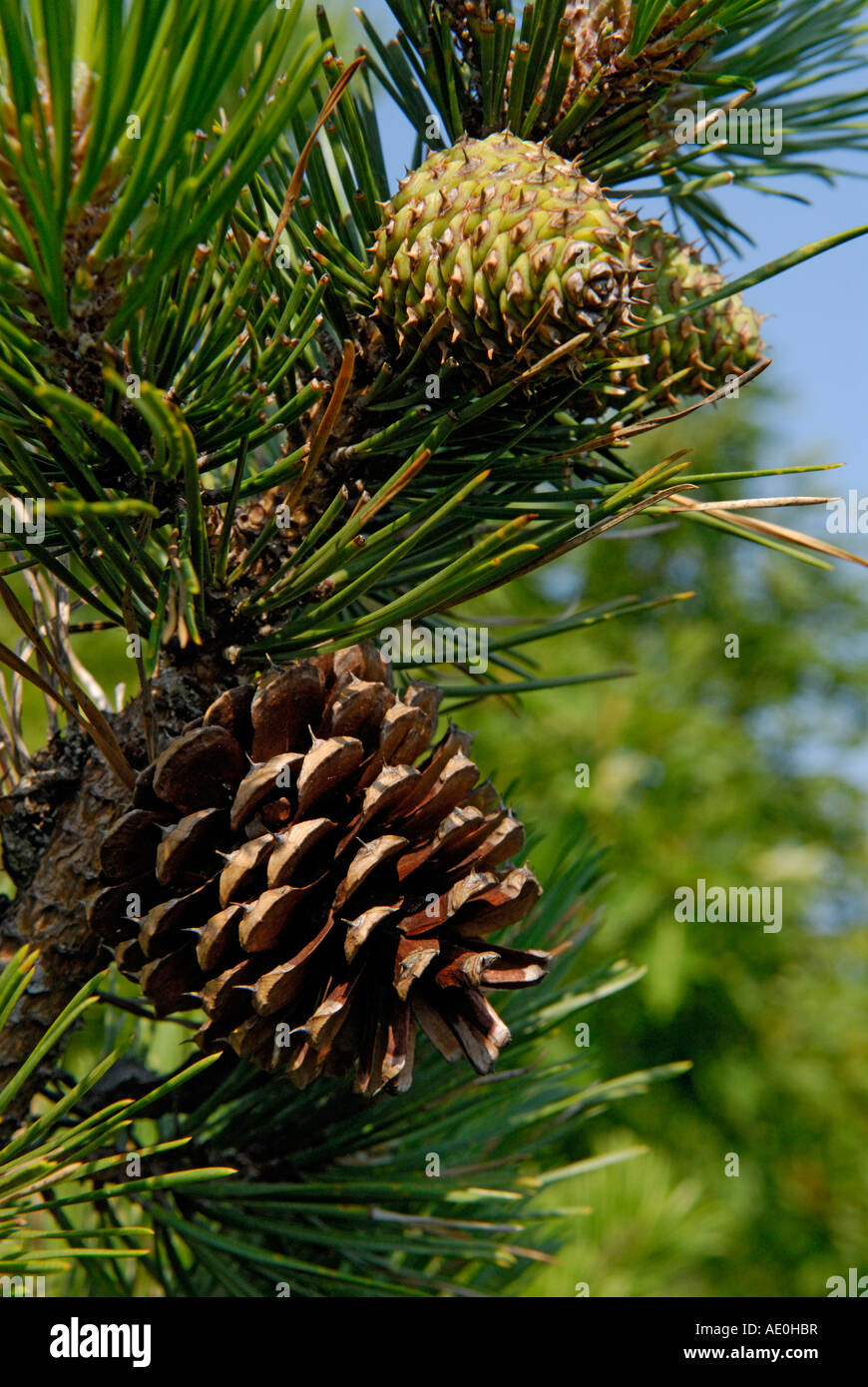 Pine cones, female, pitch pine tree, Pinus rigida - Stock Image