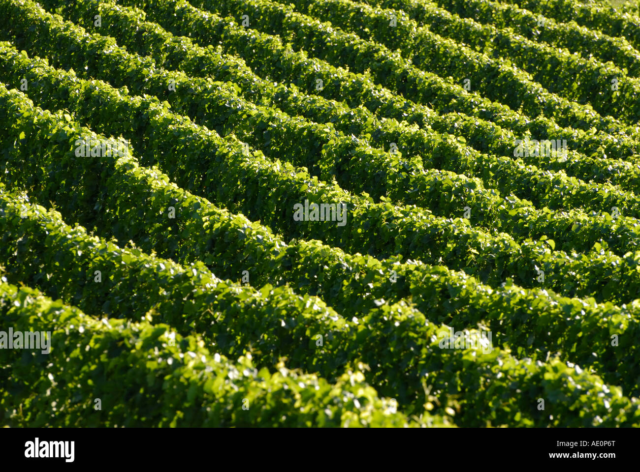 Vineyards with late afternoon light, Valle d'Aosta, Italy - Stock Image