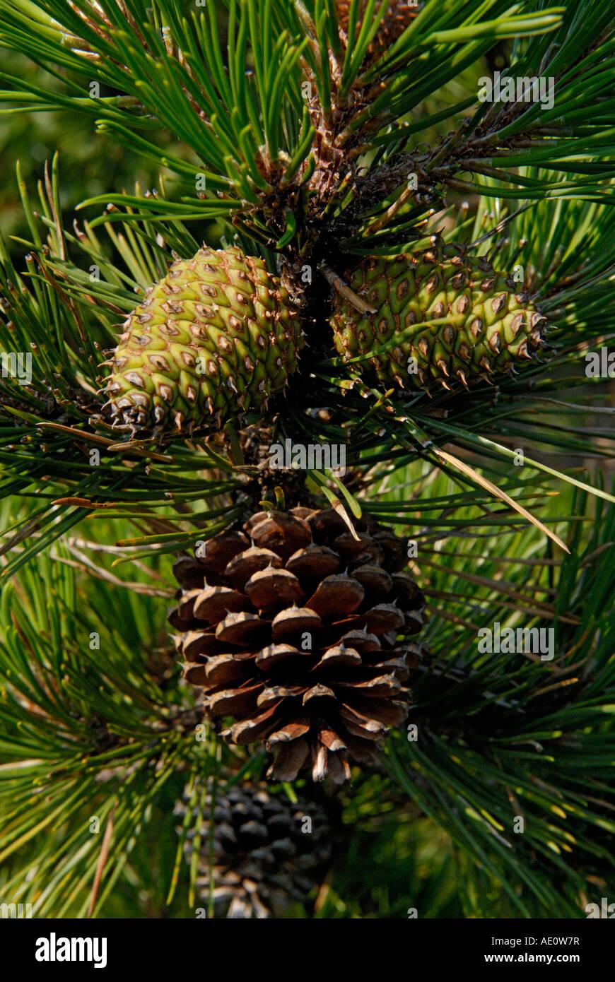Pine cones, female cones, pitch pine tree, Pinus rigida - Stock Image
