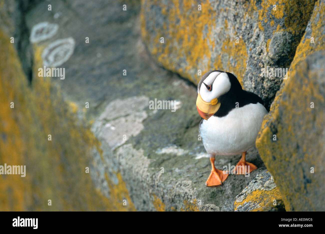 horned puffin (Fratercula corniculata), standing on rocks, looking downwards, USA, Alaska Stock Photo